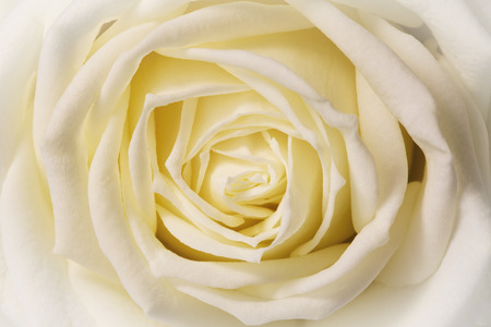 white rose, closeup