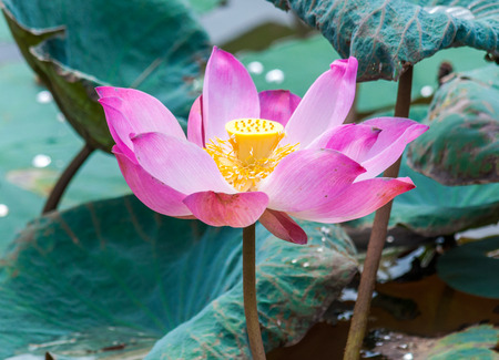 Lotus flower blooming in lake