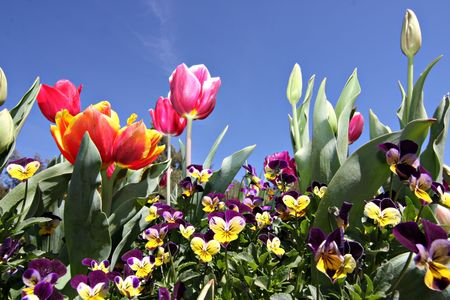 Colorful tulips at Canberra's Floriade festival