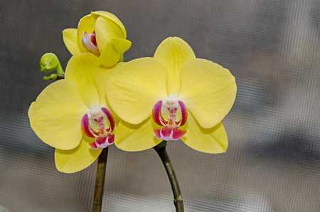 Photo for Yellow orchid branch phal flowers, close up, window background. - Royalty Free Image