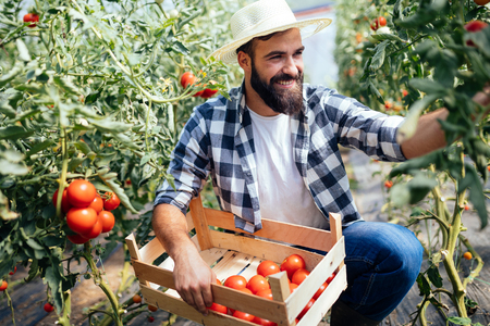 Photo pour Male farmer picking fresh tomatoes from his hothouse garden - image libre de droit