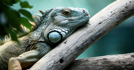 Foto de Closeup of beautiful green Iguana on branch - Imagen libre de derechos