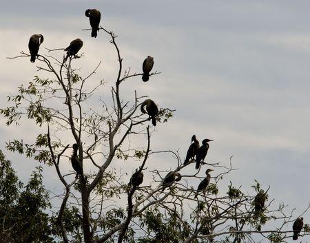 Cormorants in Tree on Cloudy Fall Day
