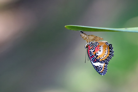 Photo pour Leopard Lacewing Butterfly perched on Chrysalis in the garden. - image libre de droit
