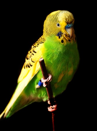 Female green budgie bird perched on a branch