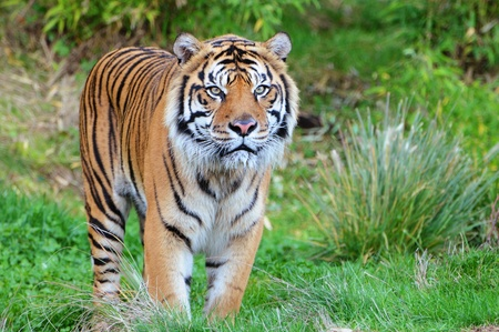 Endangered Sumatran tiger coming out of the jungle in a wildlife preserve in America