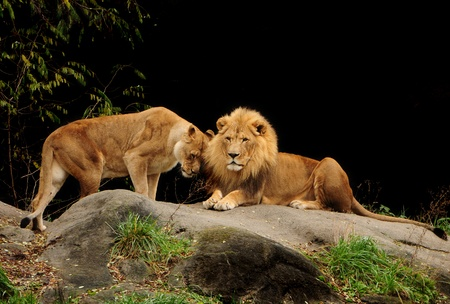 Love among animals - Loving pair of lion and lioness who are just made for each other