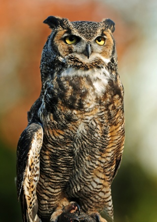 Beautiful portrait of the Great Northern Horned Owl over vibrant autumn background