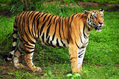 Royal bengal tiger in its natural habitat at Sundarban forest in Bengal India
