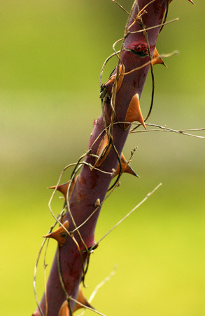 picture of a Red thorns on a rose stem