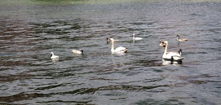 picture of a Curte swan family swimming
