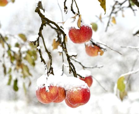 Photo pour overripe apples covered with snow, image of a - image libre de droit
