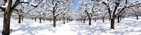 Photo pour apple orchard covered with snow, - image libre de droit