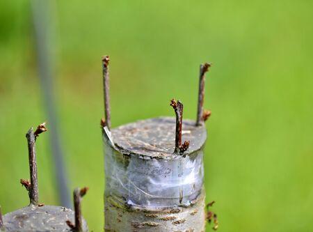 Foto für Grafted cherry fruit tree. - Lizenzfreies Bild