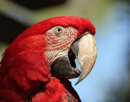 A Scarlet Macaw, Ara macao, Native to the American Tropics