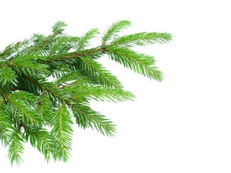 fir tree paw isolated on white