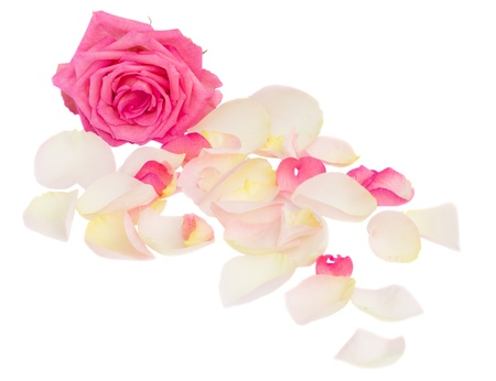 pink rose with petals isolated on white background