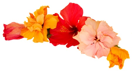 border of multicolored  hibiscus flowers isolated on white background