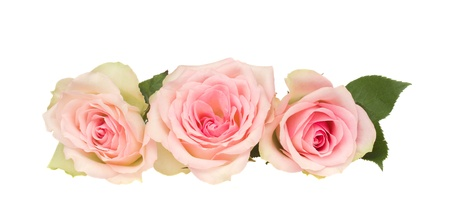 three pink roses  isolated on white background
