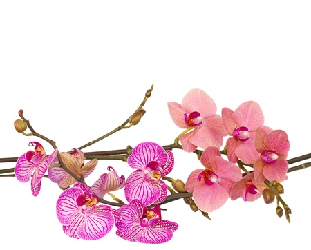 red and violet orchids  close up isolated on white background