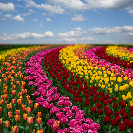 Photo for Famouse dutch colorful tulips field with rows under blue sky - Royalty Free Image