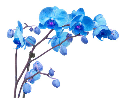 Photo pour orchid branch  with blue flowers isolated on white background - image libre de droit