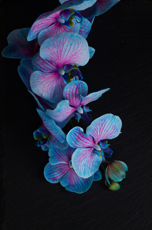 Stem of blue  orchid flowers  on  black background