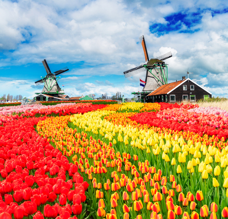 Photo pour two traditional Dutch windmills of Zaanse Schans and rows of fresh tulips, Netherlands - image libre de droit