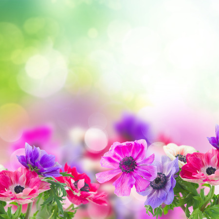 fresh anemone flowers over green garden background with copy space