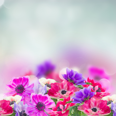 fresh anemone flowers isolated on blue background with copy space