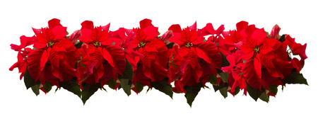 Photo for Border of fresh scarlet poinsettia flower or christmas star  on a white - Royalty Free Image