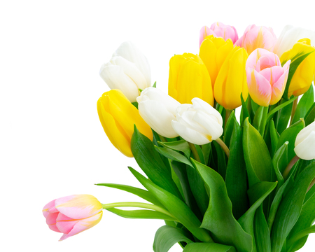 Photo pour Pink, yellow and white fresh tulip flowers and green leaves close up isolated on white background - image libre de droit