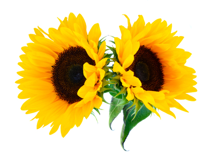 Photo pour Sunflowers fresh flowers two heads isoltaed on white background - image libre de droit