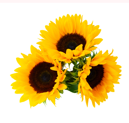 Photo pour Sunflowers fresh flowers three heads isolated on white background - image libre de droit
