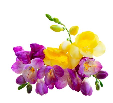 Photo pour Bouquet of freesia violet and yellow flowers up isolated on white background - image libre de droit