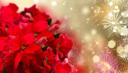 Photo pour scarlet poinsettia flower or christmas star on festive background with fireworks - image libre de droit