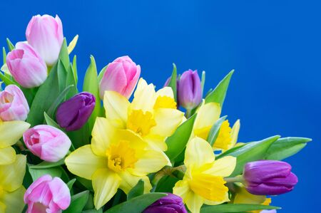 Photo for tulips and daffodils flowers over plain blue background - Royalty Free Image