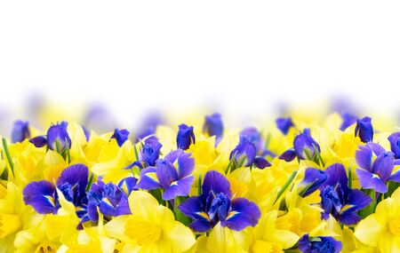 Photo for bouquet of daffodil and iris flowers border over white background - Royalty Free Image