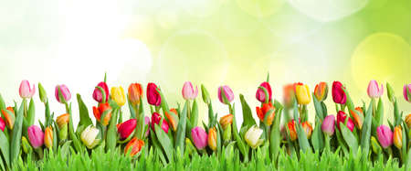 Photo pour spring green lawn withcolorful tulips rown in spring garden, web banner format - image libre de droit