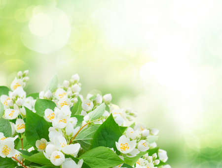 Photo pour Jasmine flowers and leaves over sunlit garden bokeh background, abstract spring fresh background with copy space - image libre de droit