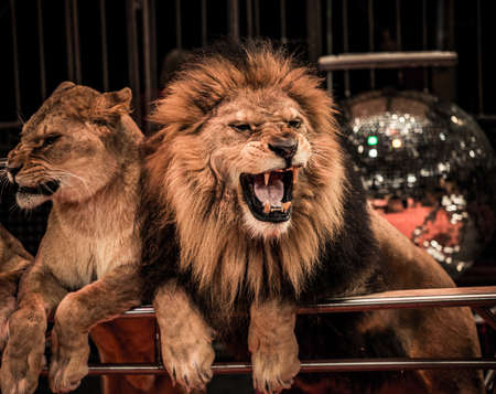 Gorgeous roaring lion and lioness on circus arena