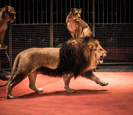Gorgeous roaring lion walking on circus arena and lioness sitting