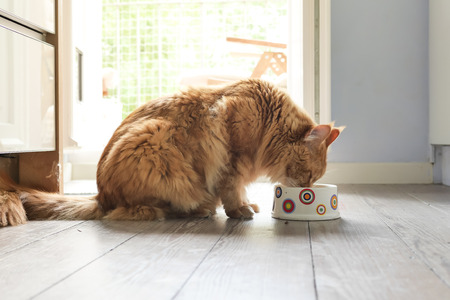 Maine-coon cat eating from bowl