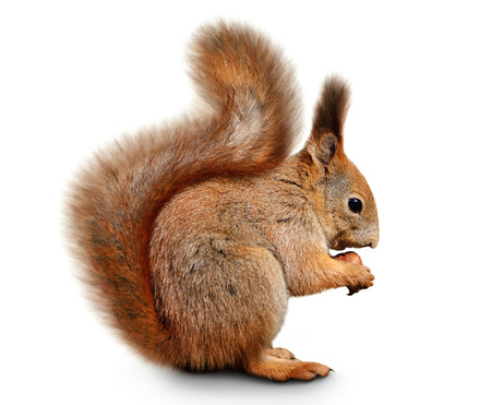 Portrait of eurasian red squirrel in front of a white background