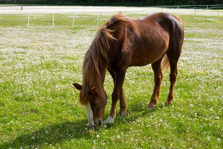 Photo pour Beautiful brown horse eating grass on summer field during sunny calm day - image libre de droit