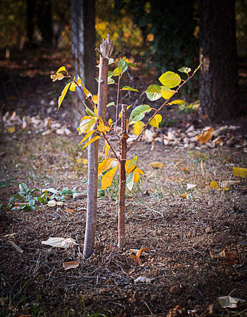 Freshly planted young tree, autumn planting, held with wooden stake. Forestation Concept.