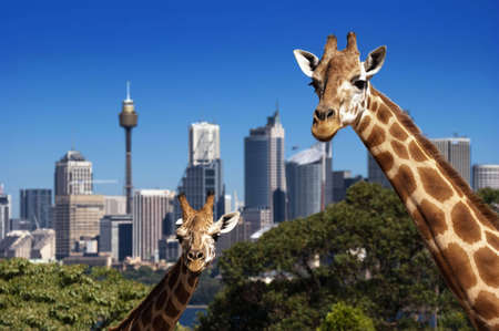 Two giraffes in Taronga zoo in front of skyline
