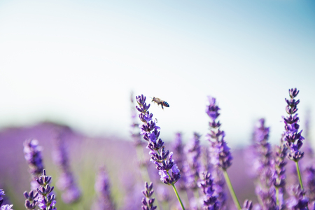 Shot of a lavender field with a bee in sunlight.