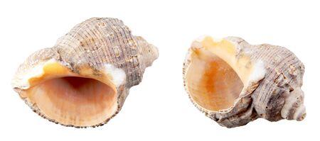 Photo pour Close-Up Of Seashell Against White Background - image libre de droit