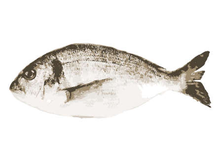 Photo pour Sea bream fish isolated on a white background. This large group of fish from the Sparidae or Bramidae families are generally caught in the Mediterranean and off the west coast of Africa - image libre de droit